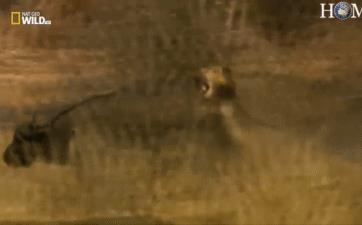 Đấu đến mệt bở hơi tai, 2 sư tử đực cũng phải giương mắt nhìn 'chiến binh' trâu bỏ đi