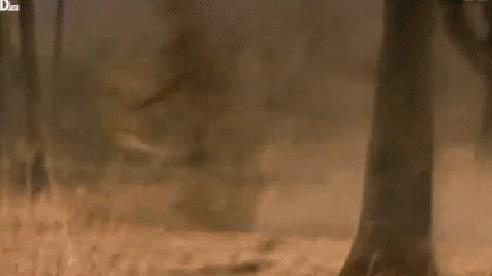 Hai con sư tử đang cố hạ 'gã khổng lồ' thì đàn sư tử đối thủ xuất hiện và điều khó tin sau đó