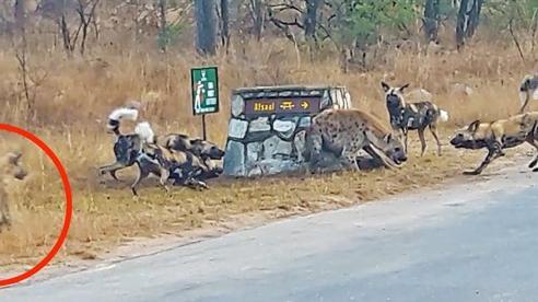 Chó hoang đẩy linh cẩu tới đường cùng: Phép màu phút cuối