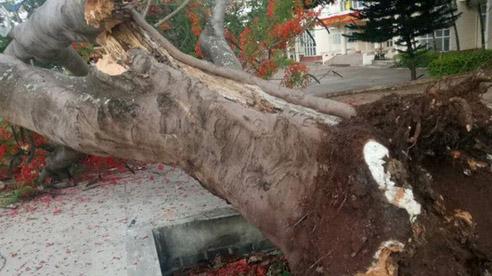 ĐỪNG LỠ ngày 28/5: Thêm cây phượng cổ thụ bật gốc trong sân trường học; Vỡ đập ở Phú Thọ, sơ tán khẩn cấp nhiều hộ dân