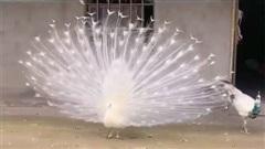 Mê mẩn với vũ điệu của loài chim công