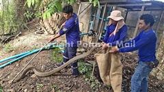 Kịch tính cuộc vây bắt hổ mang chúa dài 7m trong vườn nhà