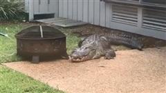 THÓT TIM: Cá sấu hung hăng đột nhập nhà dân