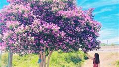 Cây bằng lăng cô đơn ở Bình Thuận nở hoa tím rợp trời, chụp góc nào cũng đẹp khiến ai nấy mê mẩn