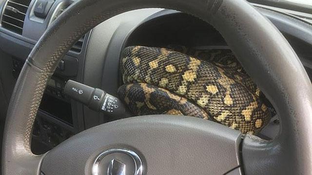 Bất cẩn để cửa ô tô hớ hênh chỉ một đêm, tài xế run bần bật phát hiện 'bé Na' khổng lồ đang say giấc nồng ngay sau bánh lái
