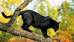 Nghi có 2 con báo đen khoảng 100kg xuất hiện ở Đồng Nai, cảnh báo để người dân cảnh giác