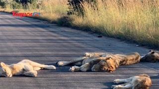 Công viên đóng cửa, sư tử rủ nhau ra đường ngủ trưa
