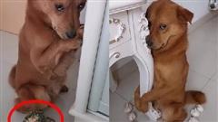 Gặm mất một góc cây xương rồng, chú chó sợ bị phạt nên làm mặt nũng nịu khiến chủ 'bó tay'