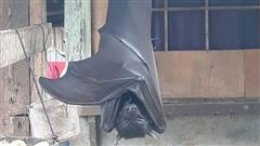 Loài dơi khổng lồ to như con người khiến ai nhìn thấy cũng phát hoảng