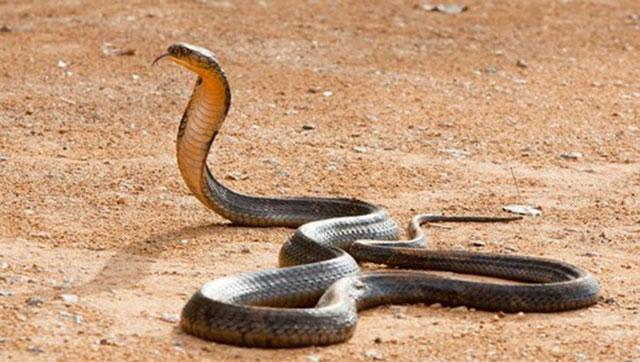 Bị rắn hổ mang kịch độc tấn công lúc ngủ, 3 người một nhà tử vong thương tâm