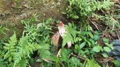 Đụng độ cầy Mangut, hổ mang chúa bị đối thủ cắn nát đầu