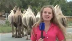 Ông cụ 'vui tính' thả 80 con lạc đà ra khiến cả vùng hỗn loạn, người dân mất ăn mất ngủ