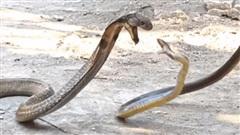 Hổ mang chúa khổ sở vì bị con mồi cắn thẳng vào cổ họng, và màn trả thù sau đó