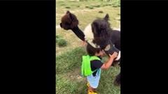Lịm tim trước cảnh em bé ôm ấp lạc đà Alpaca con