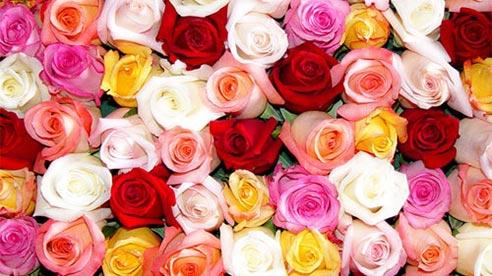 Ý nghĩa của mỗi loại hoa hồng