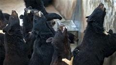 Âm thanh rùng mình ám ảnh của những con gấu bị nuôi lấy mật