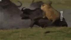 Đơn độc đi săn, sư tử cái bị trâu rừng to lớn quăng quật rồi dìm xuống đầm nước