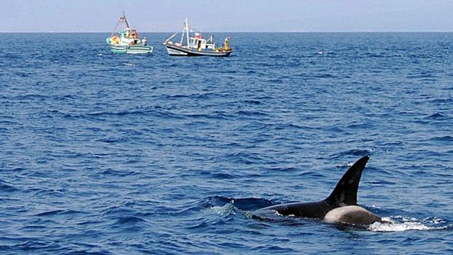 Cá voi sát thủ 'phát điên', húc liên tục vào thuyền giữa tiếng kêu chói tai: Lời 'bất thường' gửi con người?