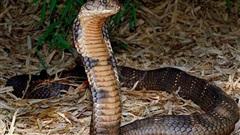 Kỳ bí dòng họ dùng miệng hóa giải  được nọc rắn kịch độc