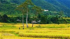 [Photo] Rực rỡ sắc vàng nơi rẻo cao Mù Cang Chải