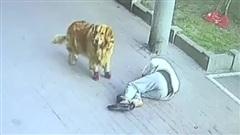 Dắt chó đi dạo, bị mèo rơi vào đầu, gãy cổ bất tỉnh, nhưng sự việc sau đó mới thực sự... nhói lòng!