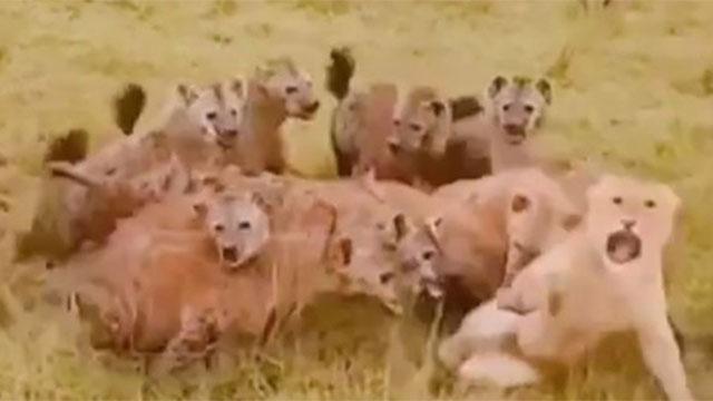 Sư tử cái suýt mất mạng bởi bầy linh cẩu hung dữ và màn giải cứu ngoạn mục