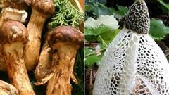 5 cây nấm đắt đỏ bậc nhất hiện nay, ngay cả thịt cá thượng hạng cũng khó sánh bằng: Việt Nam ta có tới 2 loại góp mặt