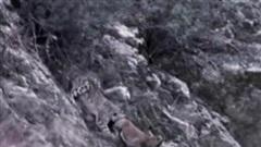 Clip: Màn rượt đuổi kinh điển trên vách đá dựng đứng của dê núi và báo tuyết, cái kết nhiều người bất ngờ