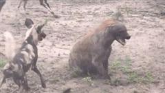 Vác bụng bầu đi săn mồi, linh cẩu bị cả bầy chó hoang châu Phi đánh hội đồng