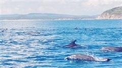 Đàn cá heo chen nhau chao lượn ven bờ biển Phú Yên