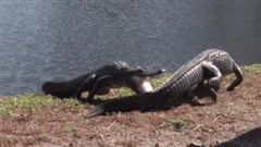Clip: Màn kịch chiến nảy lửa của 2 con cá sấu, kết cục chẳng ai ngờ tới