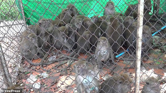 Làm loạn thành phố, hàng trăm con khỉ nghiện sex nhận cái kết đắng
