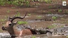Linh dương bị hai con cá sấu tấn công, bất ngờ ở phút cuối