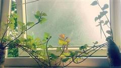 Nếu ai muốn tạo bonsai khoai lang, hãy lấy tuyệt tác này làm động lực!