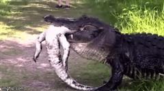 """Cá sấu khổng lồ """"ăn tươi nuốt sống"""" đồng loại"""