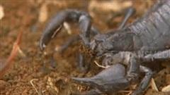 Độc chiêu chết chóc của rết độc khiến bọ cạp tê liệt: Trận chiến mãn nhãn khó tin