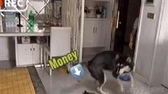 Husky 'ngáo ngơ' biết nhận hàng thay chủ, nhưng hành động lúc trả tiền shipper mới khiến ai nấy phì cười: Tính dọa chết người ta sao?