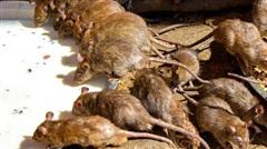 Chuyện lạ: Quốc gia duy nhất chuột được xem như thần thánh, được cung phụng hết mức