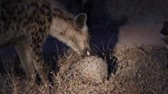 Đàn linh cẩu nhận cái kết bẽ bàng khi cố tìm cách nhai sống con vật được nhiều người săn lùng
