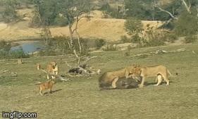 Lọt vào vòng vây của đàn sư tử, trâu rừng bỏ mạng dưới nanh vuốt của kẻ săn mồi