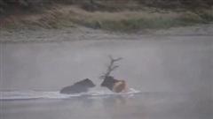 Nai sừng tấm bị gấu xám truy sát, dìm chết ở giữa sông