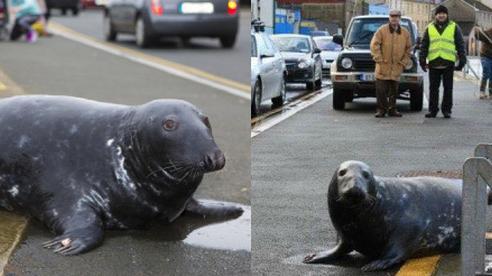 Hải cẩu đánh rơi liêm sỉ 'đóng cửa đi ăn mày' 3 bữa cá mỗi ngày vẫn khiến dân mạng tấm tắc khen về sự quy củ và đúng giờ