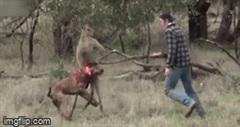 Chó cưng bị kangaroo kẹp cổ, người đàn ông có hành động bất ngờ giải cứu