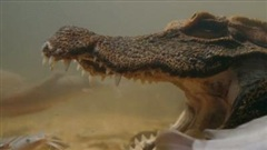 Cá sấu tung độc chiêu há miệng hàng giờ để chờ con mồi đến 'tự sát'