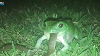 Rợn người khoảnh khắc ếch xanh mắt đỏ nhai sống rắn con trong đêm đen