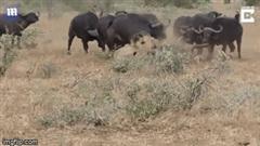 """Vừa hạ gục con mồi, sư tử bị cả đàn trâu rừng vây đánh """"tơi tả"""""""