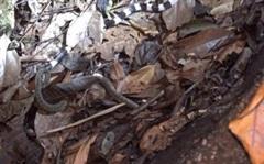 Ăn thịt nhái bén ngon lành, rắn lục không ngờ mình đang lọt vào tầm ngắm của 'kẻ săn đêm cực độc' - Kết quả ra sao?