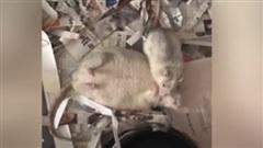 Video gây tranh cãi: Đôi chuột tâm sự hay đang dìu nhau vì… quá béo