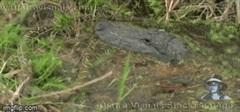 Cả gan xâm phạm lãnh địa của cá sấu, trăn khủng bị cắn xé đến mất mạng