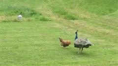 """Gà trống đối đầu chim công """"cực gắt"""", đối thủ cũng đáp trả đầy uy lực"""